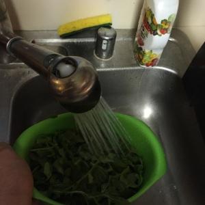 The arugula getting a quick wash.